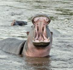 hipopotamo-en-Tanzania