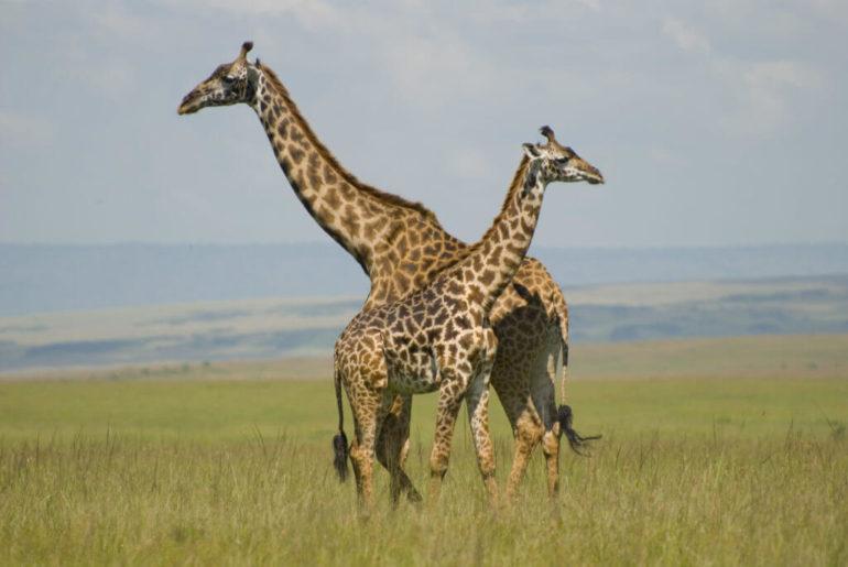 jirafas-kenia-masaimara